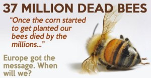 bees-found-dead-elmwood-ontario-canada-large-planting-gmo-corn-seed-treated-neonicotinoid-pesticides